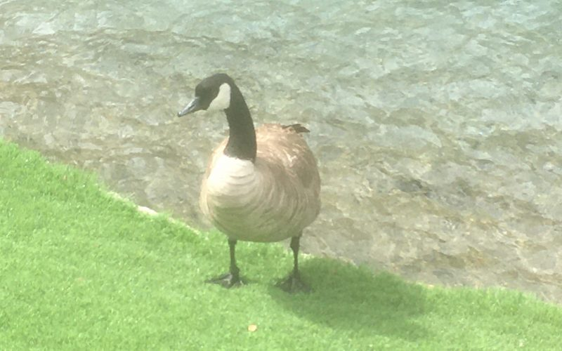 Canadian Geese Las Vegas, Canadian Geese Las Vegas Strip, Canadian Geese 2021, Canadian Geese in Las Vegas